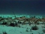 Spiny lobster migration - La migration des langoustes (Divers)
