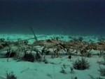 Spiny lobster migration - La migration des langoustes (Divers)
